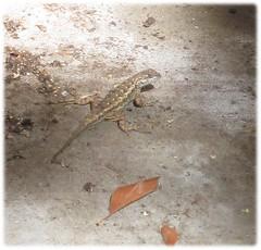 1806_lizard