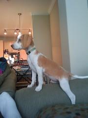 Lola at 3 Months (Bukowsky18) Tags: dog pet cute beagle puppy adorable aww lemonbeagle keepsmeupatnight likestochewalot