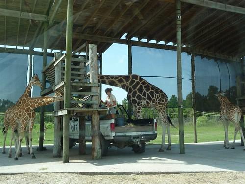 giraffes feeding.