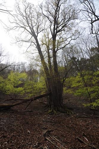 シャロムの樹