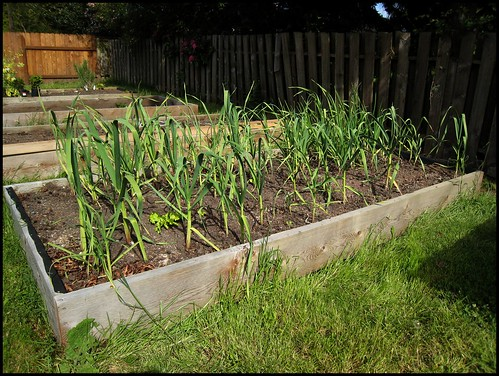 Garlic and onion bed