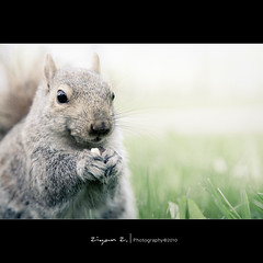 Yummy~ (Explored) (Ziyan | Photography) Tags: animal closeup grey squirrel quebec montreal 5d  ziyan canonef24105mmf4lisusm bokehhearts