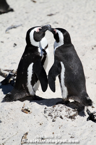 lover penguin