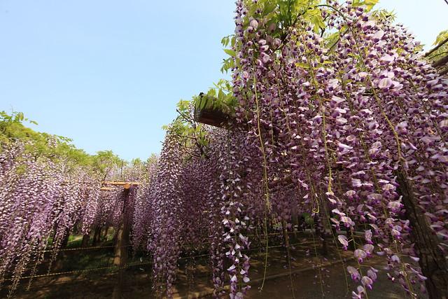 Japanese wisteria / Wisteria floribunda / 藤(フジ)