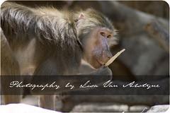 Ain't she adorable!? (Lisa Van Alstyne) Tags: canon monkey zoom baboon tamron phoenixzoo meetupcom ooc xti arizonaphotographers coffeeteaactions weekendoutings