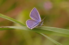 Icaro (maschio) Polyommatus icarus (Plebejus argus) Tags: italy macro flora lazio farfalle sezze montilepini lepidotteri angelomarchetti