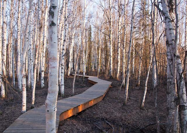 Evening Birch Forest
