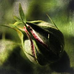 Time (bealla) Tags: flowers roses macro texture magicunicornverybest magicunicornmasterpiece mygearandme mygearandmepremium asquaresuperstarstemple