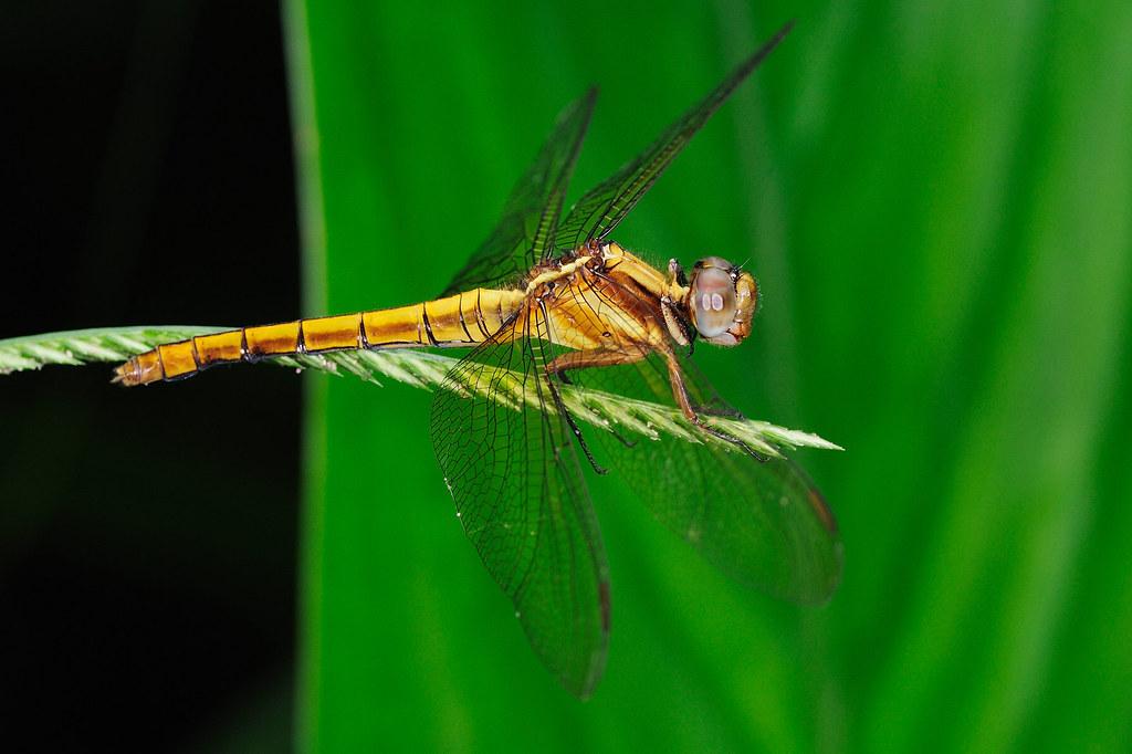 鼎脈蜻蜓(雌) Orthetrum triangular