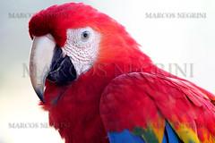 ARARA (Marcos_Negrini) Tags: ave marcos cavalo tropa pantanal arara boi boiada gado peão negrini