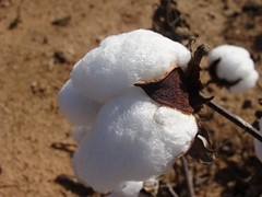 Cotton, mature, Cherokee County