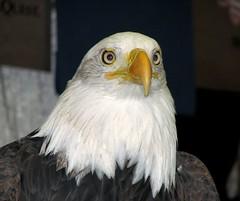 Eagle eyes (MyAngel 27) Tags: bird eagle raptor americanbaldeagle