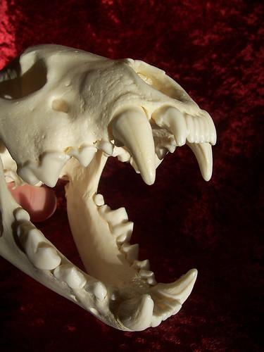 Wolverine Skull 04