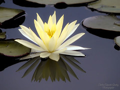 Duas vezes bela... (cecgodoy) Tags: white plant flower reflection water beauty peace blossom flor lilly soe nymphaea branca waterlilly ninfia blueribbonwinner fantasticflower mywinners platinumphoto theunforgettablepictures macrolife goldstaraward