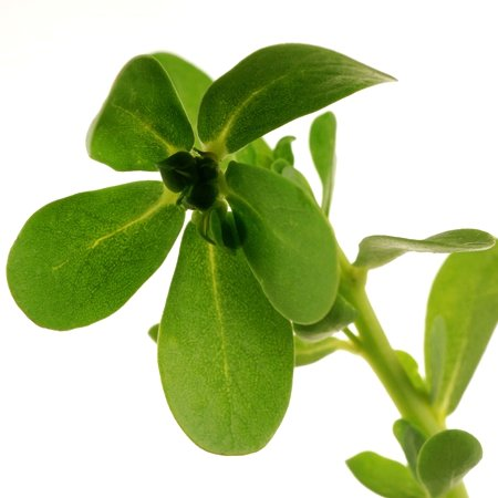 purslane© by Haalo