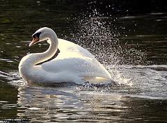 swan (coral.hen4800) Tags: worldclassnaturephotos flickrenvythebesttm