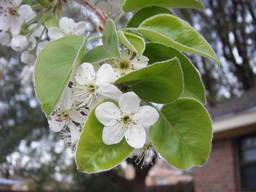 Bradford Pear Blooms and Leaves