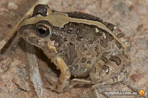 Ornate burrowing frog (Opisthodon ornata)