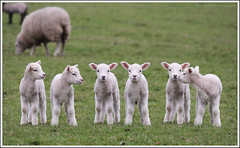 Lambs at Calke Abbey (benwmbc) Tags: wet photoshop sheep derbyshire lambs clone cloned raining bankholiday goodfriday ticknall calkeabbey dvp3 april2009 70200mmf4lis canon40d 2lambs
