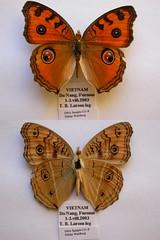 NW131-8 Junonia almana (nymsysgro) Tags: vietnam nymphalidae nymphalinae junonia almana junoniini