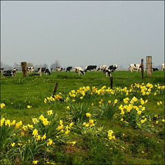 typical Dutch landscape (atsjebosma) Tags: flowers holland green dutch landscape spring cows nederland thenetherlands explore pasture groningen lente daffodils grazing weiland landschap koeien narcissen voorjaar typicaldutch rurallandscape april2009 atsjebosma vosplusbellesphotos