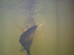 Picture 014 (crazydude713) Tags: ocean summer sun fish water kids sunrise fun fishing pond bass bigfish firstkiss sunsetdolpine