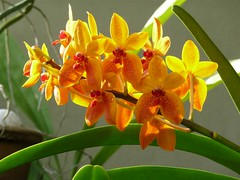 Flowers From My Garden #146 – Flowers Do Not Need A Question. (ighosts) Tags: flowers moon love colors garden stars orchids malaysia questions klang answers oneandmany