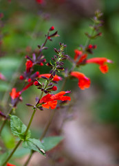 Edith L. Moore Nature Sanctuary - scarlet sage