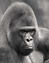 Stare (Brian Patrick Photography) Tags: life white black nature animal hair nose eyes thought gorilla think stare primate bestofbw