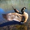 ~ Wild Goose Chase ~ (ViaMoi) Tags: digitalcameraclub viamoi 100commentgroup