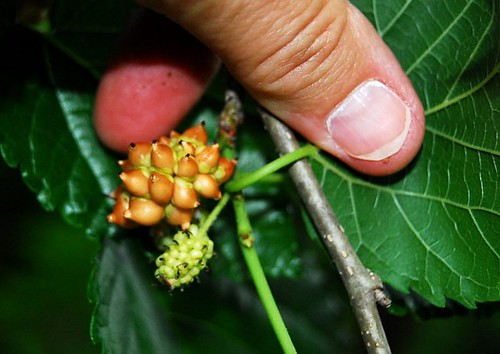 Mutant Mulberry