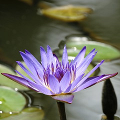 Water lily (ddsnet) Tags: plant flower water gallery waterlily lily sony hsinchu taiwan aquatic   aquaticplants 900         sinpu hsinpu  tetragona water colorphotoaward platinumheartaward   900 lily   nymphaeatetragona waterlily    plants flowerinjapan nymphaeatetragon  aquatic nymphaea tetragona photoshavebeeningallery plantsnymphaea