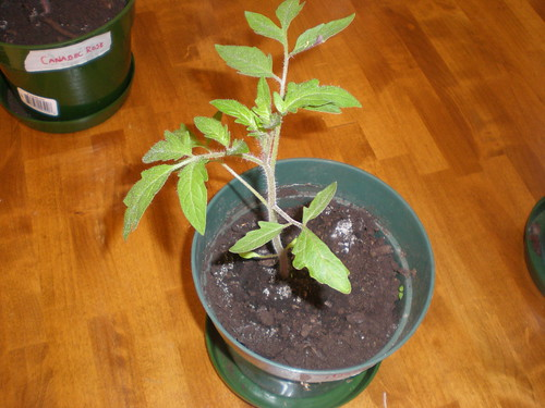 Montreal Tasty Tomato Plant, 45 days old