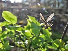 Taken (Soeradjoen) Tags: food spider spin taken mosquito mug eten voedsel gevangen