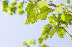 Spring Hazel or Elm leaves (Alex Rozhenyuk) Tags: abstract aglet backdrop background beautiful beautyinnature blue bluesky botanical bough branch bright bush clean clearsky closeup color easter elm environmentalconservation flora foliage green hazel leaf leafage leaves lush macro natural naturalpattern nature naturebackground newlife nobody organic plant saturated season shiny silhouette simple sky spring springleaves summer sun sunbeam sunlight sunny thenaturalworld tree white yellow young