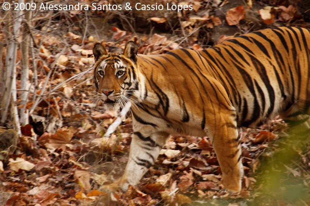 Chorbhera Tigress _MG_0748_F
