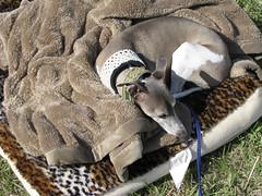 camping dog sca event montengarde maycrown wyndwyrm societyforcreativeanacronism msh0710 msh07104