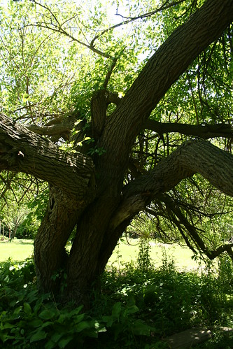 old, old mulberry tree