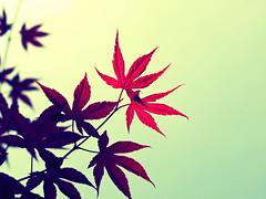 Japanese Maple (rosswani) Tags: leaves spring crossprocessed olympus japanesemaple zuiko e510 50mm20
