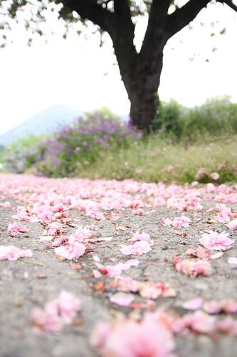 八重桜 02