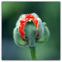 Birth of a poppy (motivsucher) Tags: macro blossom poppy makro blte mohn neighboursgarden 70400mm macrolife sal70400g