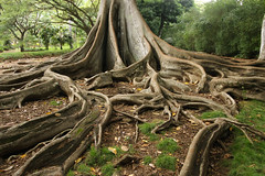 "Giant Fig Tree Roots, 3 of 3 (IronRodArt - Royce Bair (""Star Shooter"")) Tags: tree scale nature giant bay branch fig roots large fork system foundation ficus growth anchor huge trunk network banyan branching moreton macrophylla"