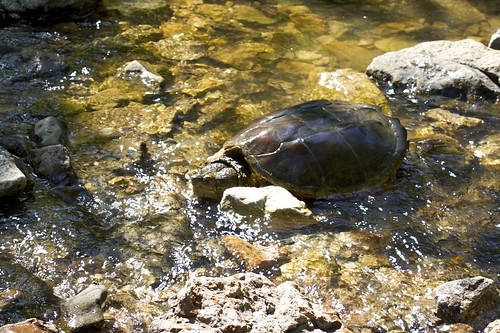 Snapping Turtle Bonding with Its Inner Rock