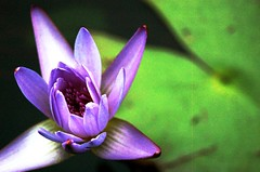 Single Open Water Lilly (mbtphoto (away a lot)) Tags: nature digital nikon northcarolina nikond50 picturesque aclass reynoldavillage artphotography reynoldagardens nenuphars pieceofart winstonsalemnc flowerscolors clck flickrsbest languageofflowers dramaticcolorboldbrightintense platinumphoto colorphotoaward ithinkthisisart photosandcalendar thepowerofflowers exemplaryshotsflickrsbest colourartaward colourartawards theperfectphotographer damncoolphotographersintheworld picturesworthathousandwords leagueofwomenphotographers flowerbudsandblossoms oneearthonehomenaturephotos damniwishidtakenthat auniverseofflowers awesomeblossoms frommylens flickrpopularphotographer photographgarden flowers marybaileythomas flowercauleleaf flowerstowers flowerslightsandcolors everthingisbeautiful betulasflower zensationalworld addictedtonature ablackrose bestofdamniwishidtakenthat florespaisajesymas reynoldahouseandgardens winstonsalemflickrites thebestoflutisfriends