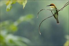 Chestnut-Headed Bee-Eater (Merops leschenaulti) (Z.Faisal) Tags: bird nikon feathers aves nikkor avian bipedal bangla faisal beeeater chittagong d300 zamir merops pakhi chestnutheadedbeeeater meropsleschenaulti chestnutheaded kaptai endothermic nikkor300mmf4 leschenaulti zamiruddin zamiruddinfaisal zfaisal khoiramatha beakbangladesh deshnature rampahar khoiramathashuichora shuichora rampahartrail kaptainationalpark
