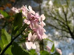 (Tölgyesi Kata) Tags: budapest botanicalgarden füvészkert botanikuskert holdviola withcanonpowershota620