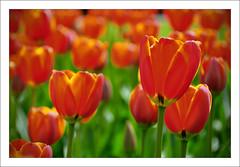 Springtime... at Keukenhof! (B'Rob) Tags: pink orange streetart holland art primavera water spring rojo agua nikon dof purple tulips bokeh nederland thenetherlands tulip holanda naranja keukenhof tulipan brob awesomeblossoms brobphoto