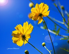 As I Look Up in the Sky [EXPLORED] (FrozenBlizzard (I need to get a PRO Account soon)) Tags: flowers blue light sky flower macro nature yellow canon photography photo petals interestingness interesting shine photos happiness bluesky petal explore wisdom cheerful yellowflowers breathtaking flares thegalaxy top1 explored abigfave camerafinder flickrdiamond frhwofavs breathtakinggoldaward garbongbisaya bestcapturesaoi coth5 breathtakinghalloffame 1001nightsmagiccity mygearandmepremium mygearandmediamond frozenblizzard tplringexcellence