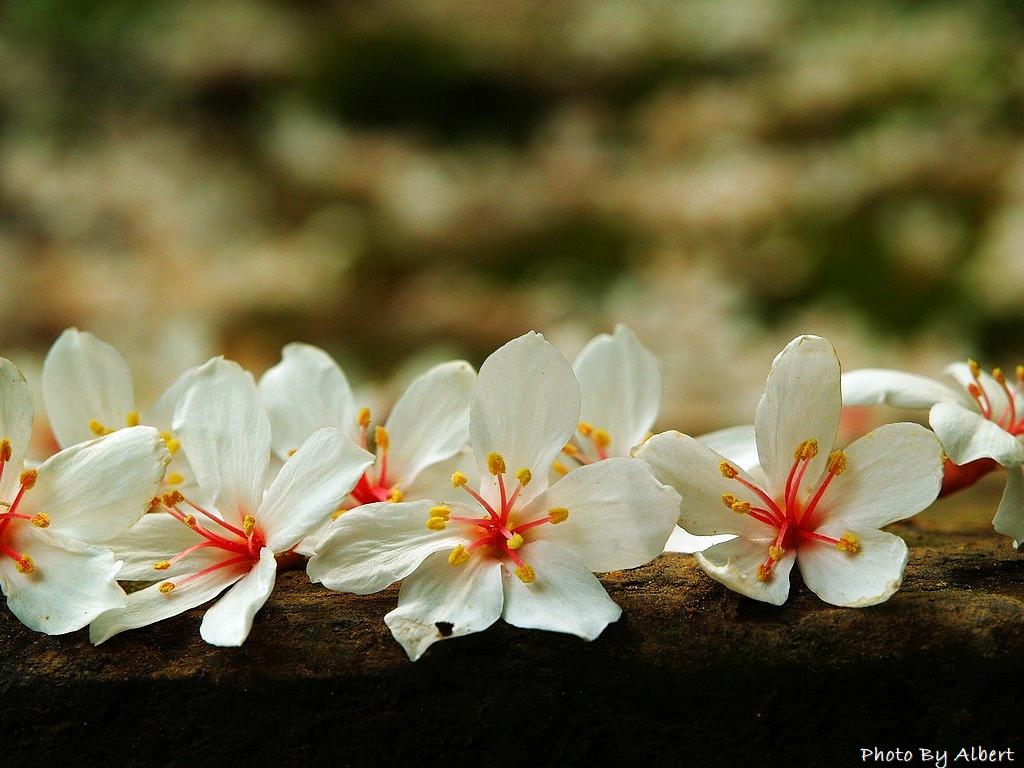 【油桐花】桃園大溪.十一指古道(滿地都是五月雪的古道)