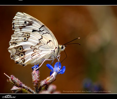 Butterfly (nahel abou hatab) Tags: flowers roses flower macro nature fleur colors rose butterfly spring syria 2010  igi  top20butterflymoth   supershot golddragon mywinners nahel rubyphotographer beautifulmonsters nahelsyria